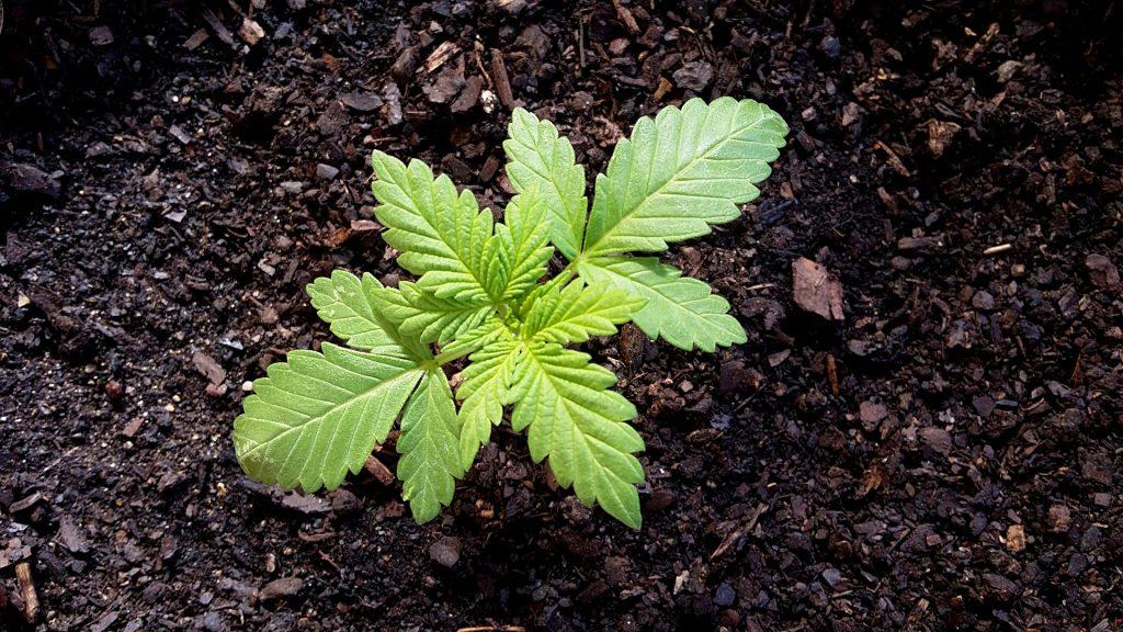 baby marijuana in soil