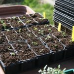 baby plants in tray