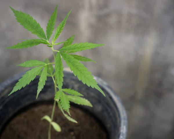 baby weed plant