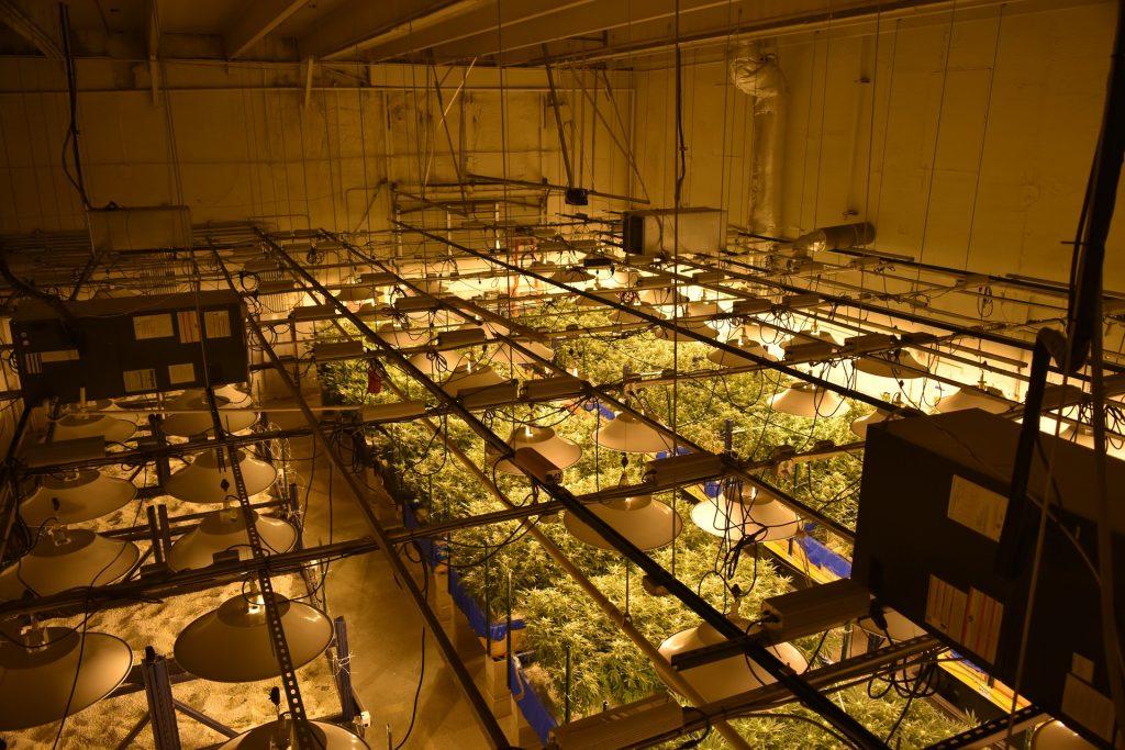 large cannabis-farm