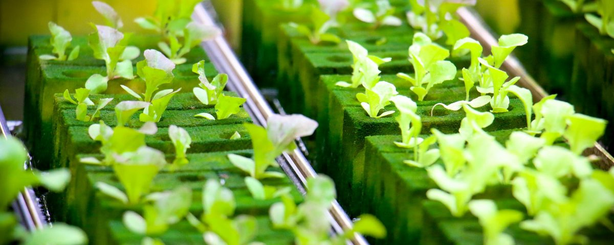 hydroponic baby plants