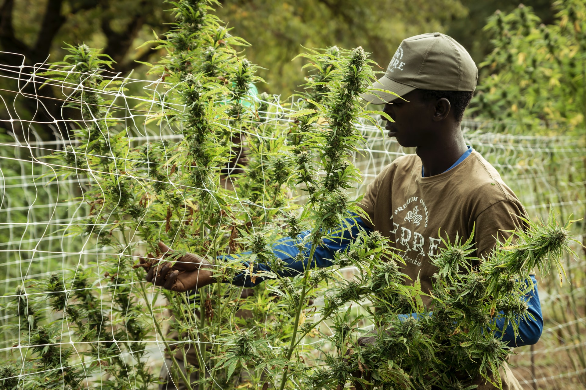 man picking cannabis crop