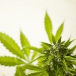 marijuana leaves close up