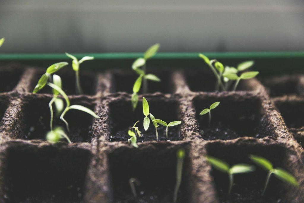 seedlings growing in tray