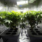 Indoor_cannabis_plants