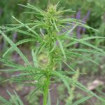 Cannabis_ruderalis_(wild_marijuana,_female)