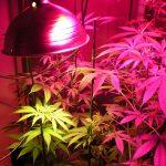 ndoor_hybrid_medical_cannabis_Growing