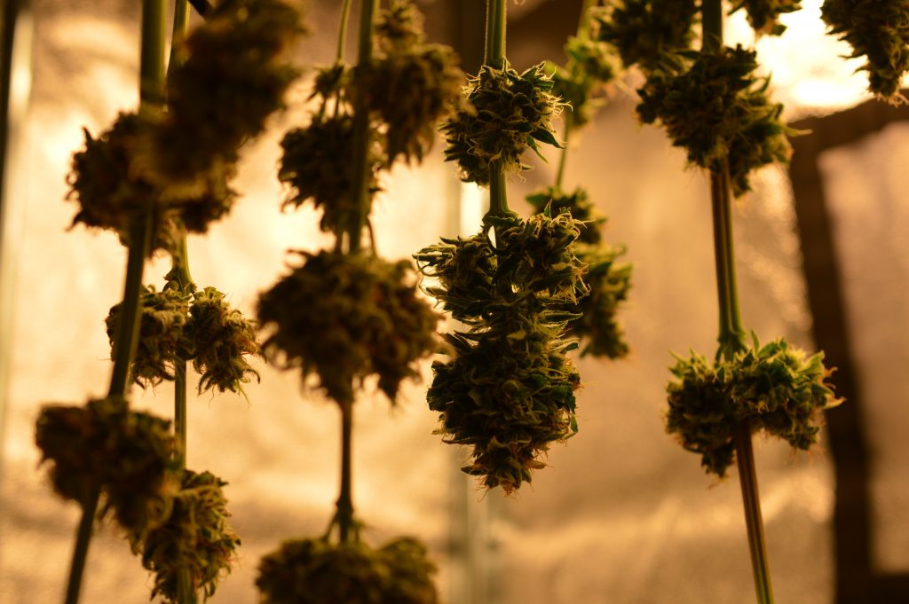 Cannabis_Drying_the_weed_