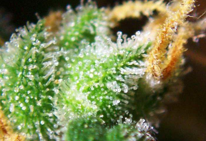 Cannabis_female_flowers_close-up