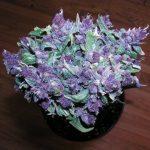 Purple_Haze_(Cannabis)