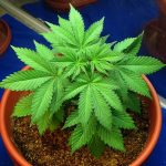 coco coir- Young_cannabis_plant_in_the_vegetative_stage_01