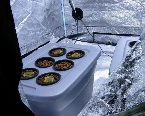 hydroponic-cannabis-indoor
