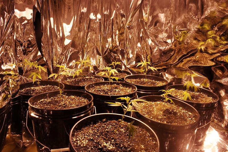 cannabis growing vermiculite