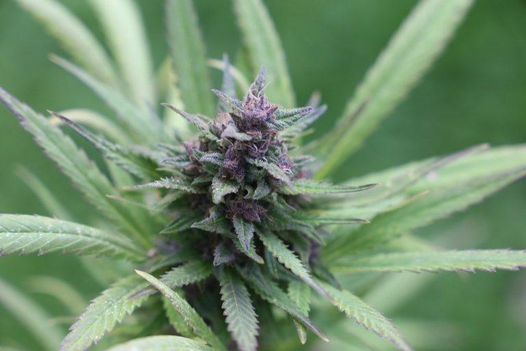 cannabis-purple flowers