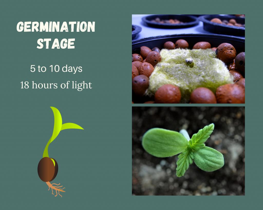 germination stage diagram