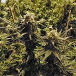 marijuana-growing indoors