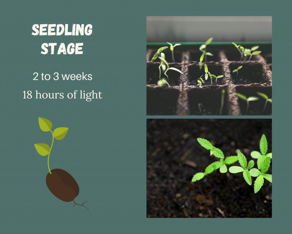 seedling stage diagram