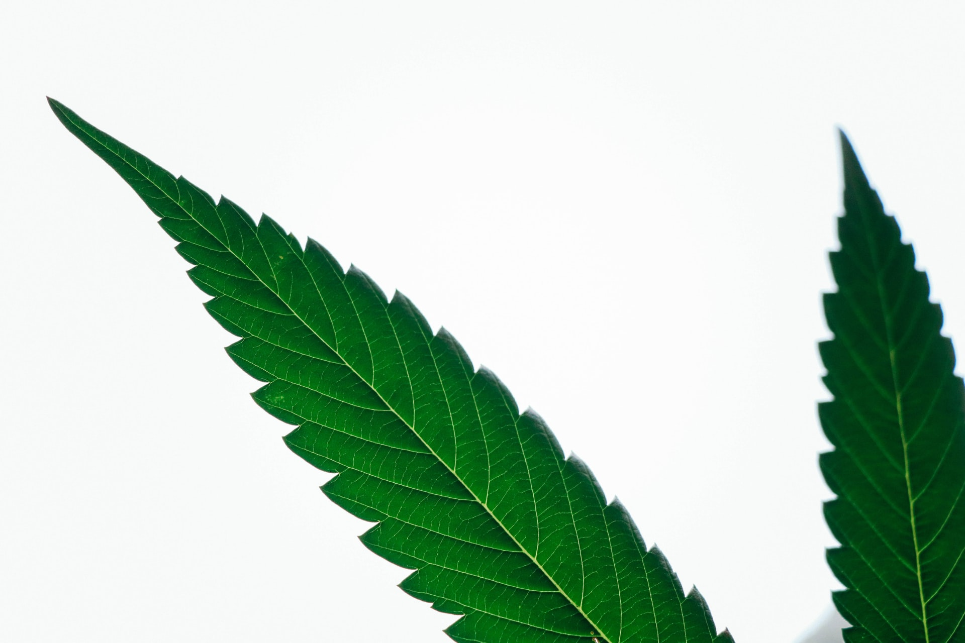 2 cannabis leaves on white backdrop