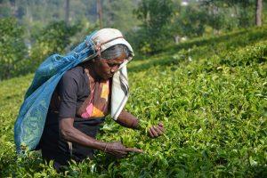 Sri Lankan woman working in field