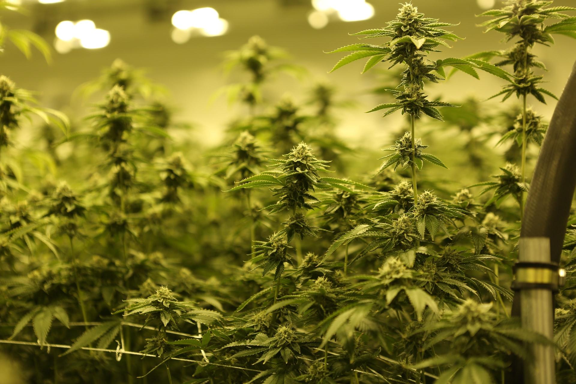 cannabis growing under yellow light