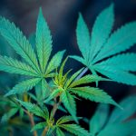 Green Party Wants to Legalise Cannabis in New South Wales