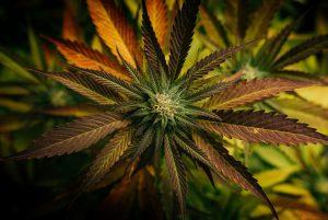 cannabis plant orange leaves
