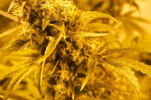 close up of marijuana flowers in orange light