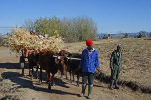 farmers in Lesotho with cattle