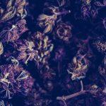 Python Interrupts Police Raid of Cannabis Grow Room