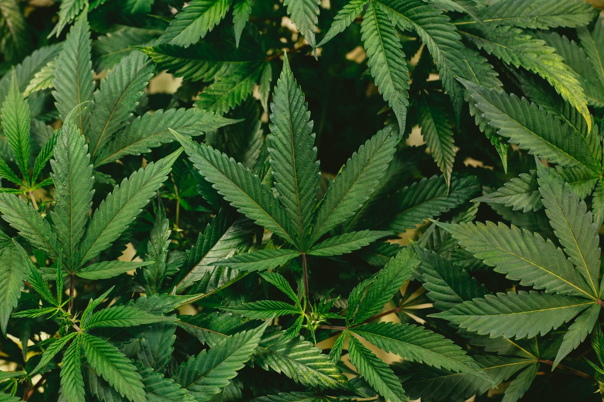 hemp leaves growing outdoors