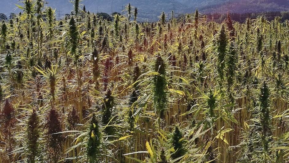 huge hemp field