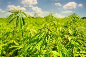 large cannabis plot outdoors