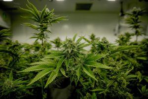 large indoor marijuana grow room