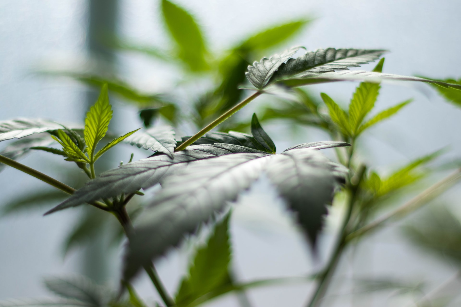 leaves of cannabis plant