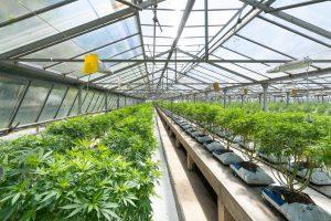 marijuana crops growing in greenhouse
