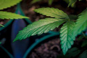 marijuana leaves in plant pot