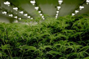 marijuana plants growing tall indoors