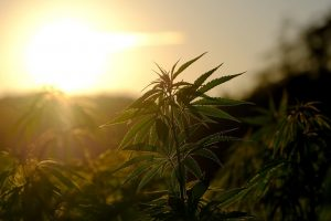 outdoor hemp plants in front of sunset