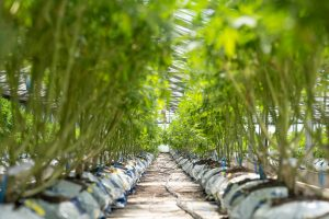 row of marijuana plants growing in greenhouse