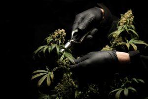 black gloves cutting cannabis leaves