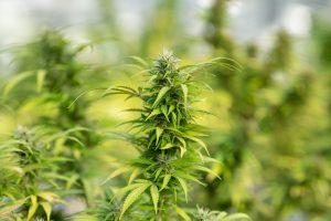 bright green cannabis growing