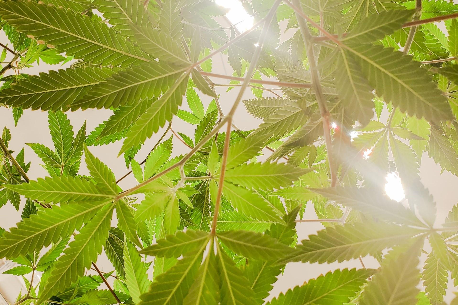 cannabis leaf canopy through light