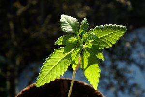 cannabis leaf under the sun