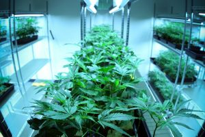 cannabis on indoor shelves