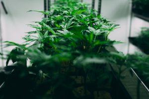 cannabis plants stack on shelf