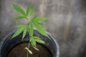 cannabis seedling growing in pot