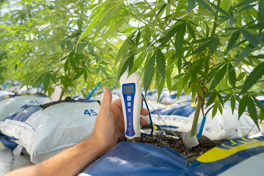 checking temperature of cannabis plant