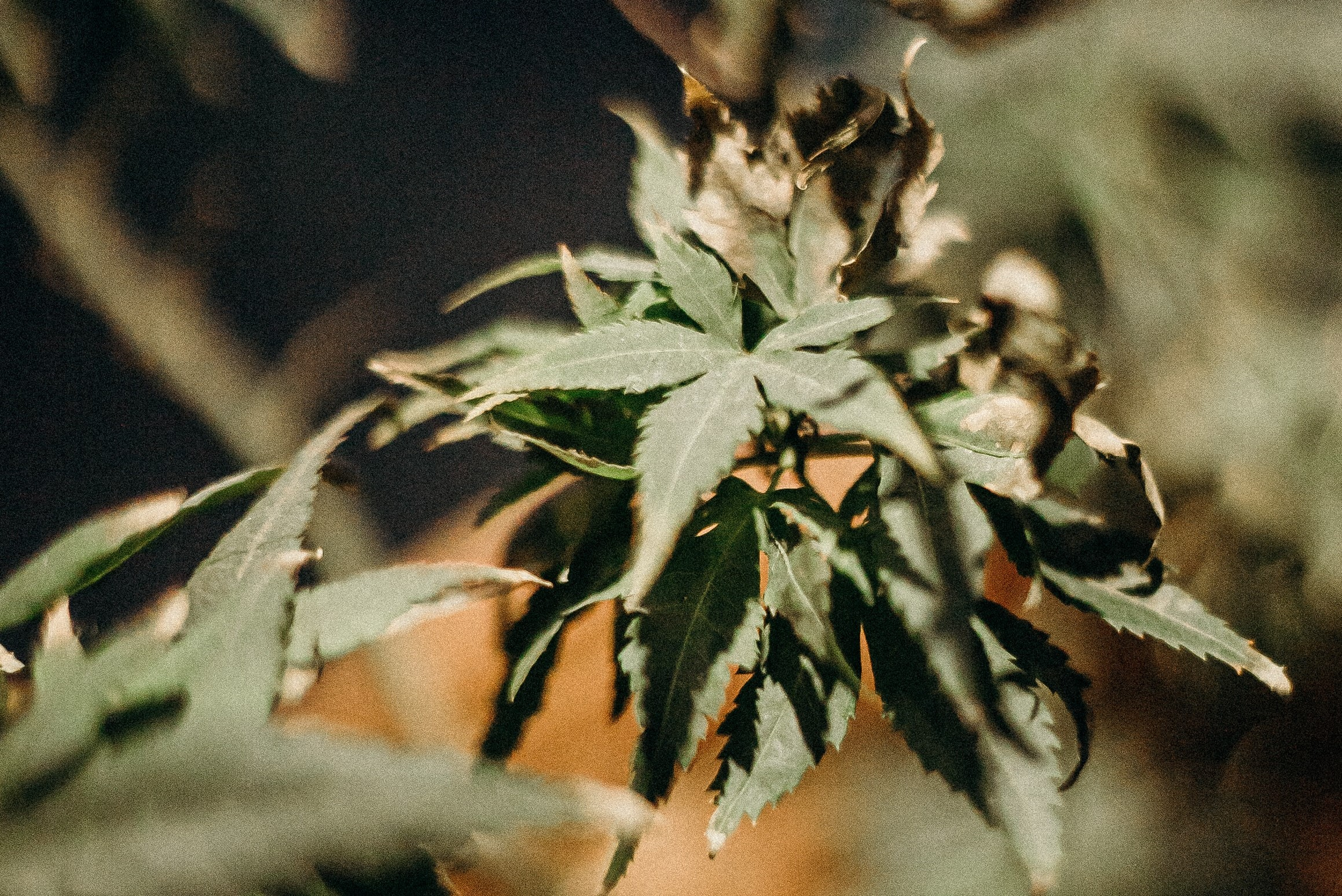 dry looking cannabis leaves
