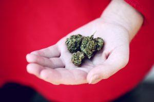 hand holding cannabis buds