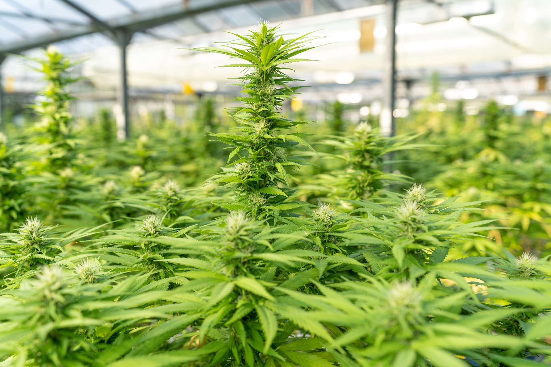 large amount of cannabis in greenhouse